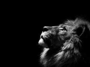 Lion-black-background-free-wallpapers-30954